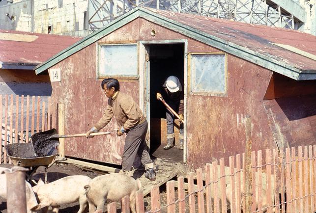 Tundra farmers. The ill-fated pig farm in Rankin Inlet, Nunavut. Photo - University of Saskatchewan, Institute for Northern Studies, binder 5. II., slide 2622