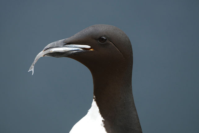 A thick-billed murre (akpa) with a mouthful of capelin—a warm-water fish quickly replacing Arctic cod as akpa's main dietary staple.