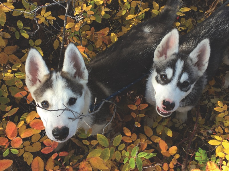 Twelve-week-old Steger (left) and Bunny will one day pull musher Jo Kelly's sled. PHOTO BY JO KELLY