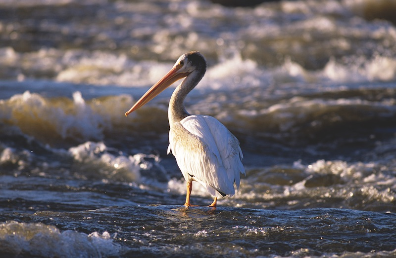One of Fort Smith's famous pelicans. COURTESY NWT TOURISM/TERRY PARKER