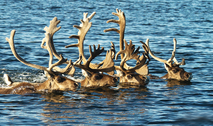 Caribou migrating outside Arctic Haven Lodge. Photo by Nanson Weber/Arctic Haven