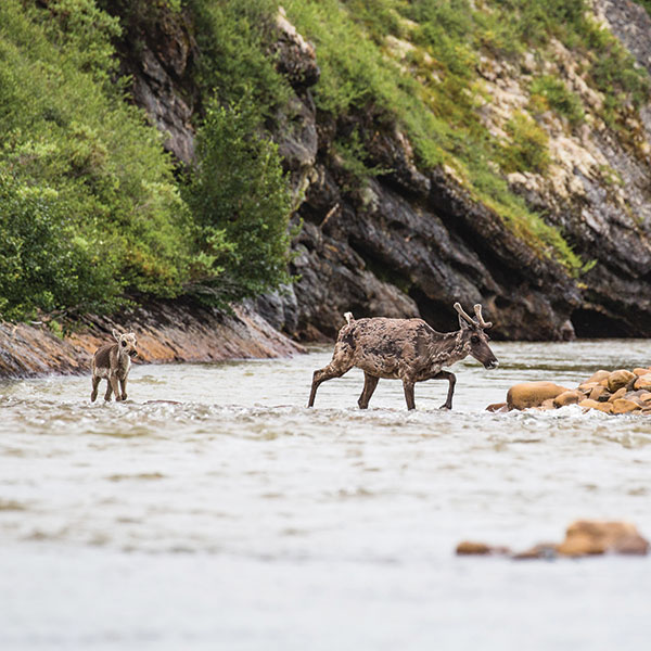A caribou calf follows its mother across a river in the northeastern Yukon during the Porcupine herd's migration. CREDIT WERONIKA MURRAY