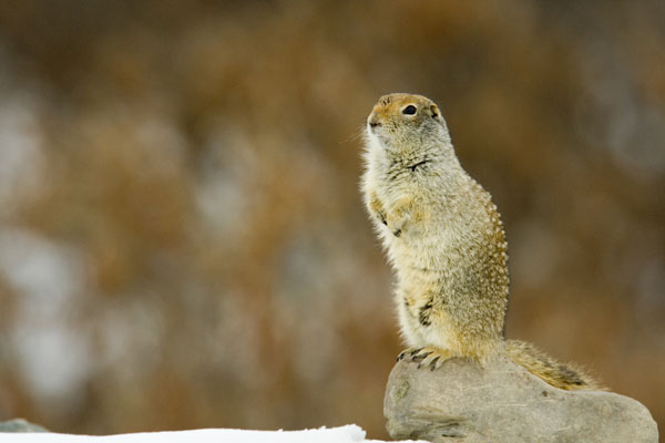 Arctic ground squirrels may have to watch their backs among the weeds.