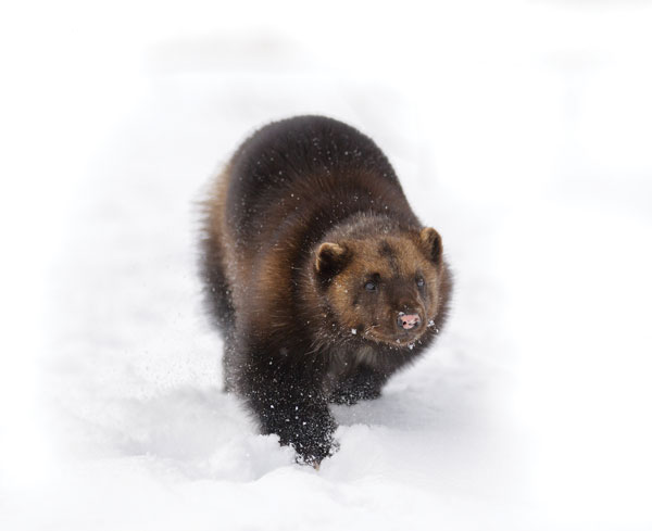 Endurance eating: a wolverine might travel 24 kilometres a day in search of food.