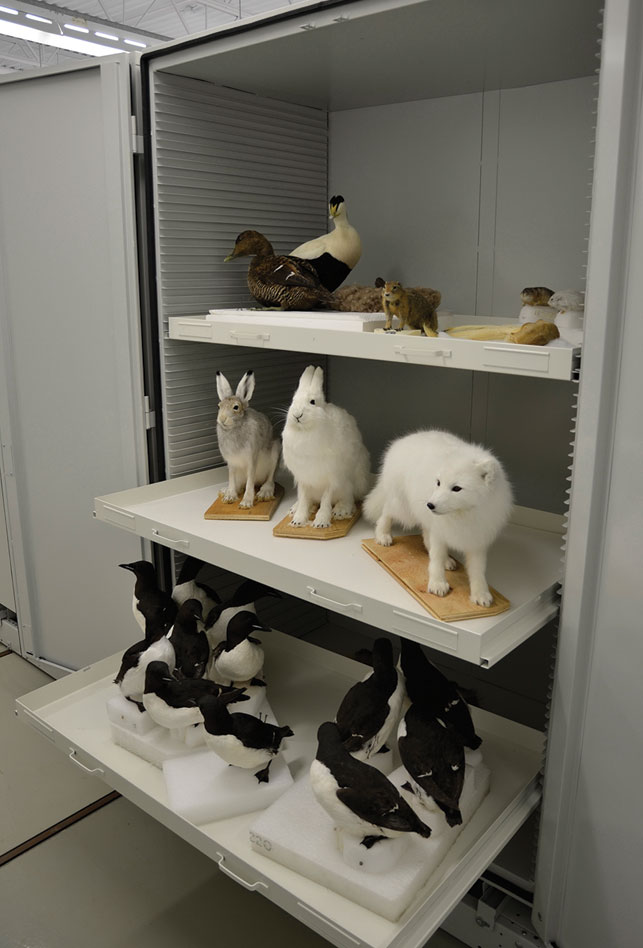 Not everything will make the cut, but taxidermied Arctic animals—fox, hare and eider duck included—wait to be chosen for the exhibit. Photo courtesy Dan Smythe, Canadian Museum of Nature