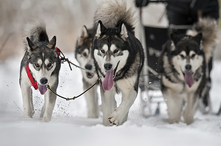 Huskies on the line
