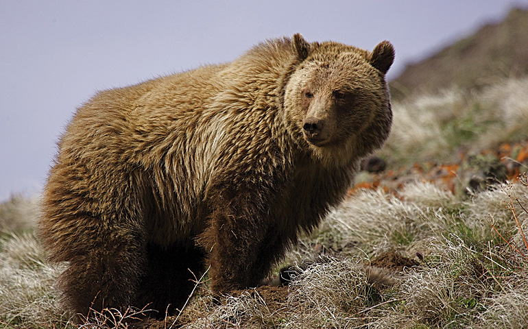 Tombstone is prime grizzly habitat. Visitors are advised to bring (and know how to deploy) bear spray.