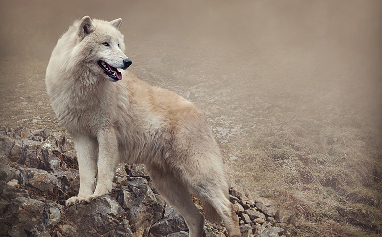 Arctic wolves have a reputation for being loners, but in fact travel in packs. Even in the heart of Tombstone, they rarely approach humans.