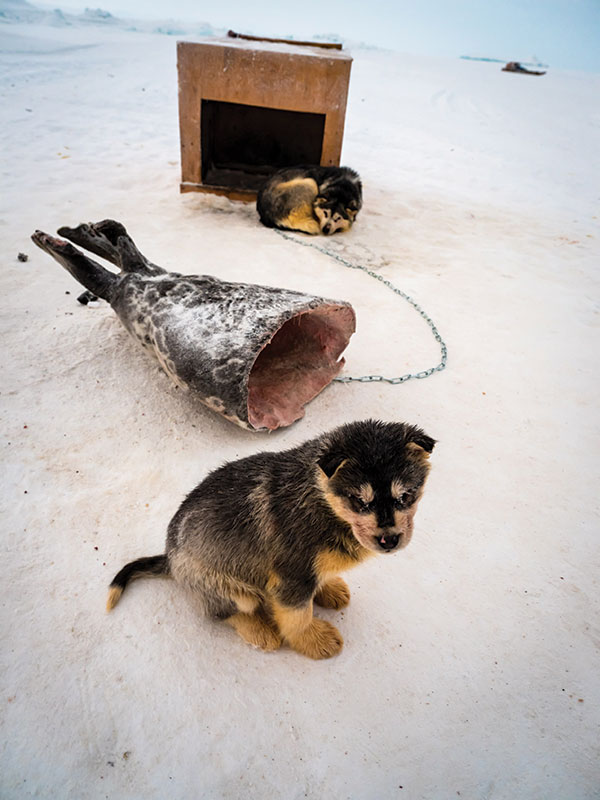 A puppy takes a break from playing with a chunk of seal.