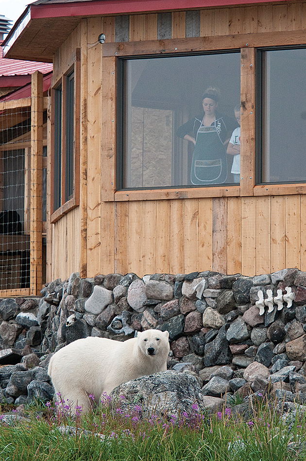 At Churchill Wild, the main attractions are furry, white and, given the chance, extraordinarily effective homewreckers. Photo by Dennis Fast