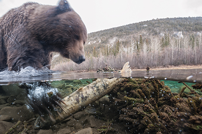 Both anglers and bears vie for fish from the Yukon's waterways, so take care not to leave any scraps around from your shorelunch, as it might attract unwanted attention. Photo, Peter Mather