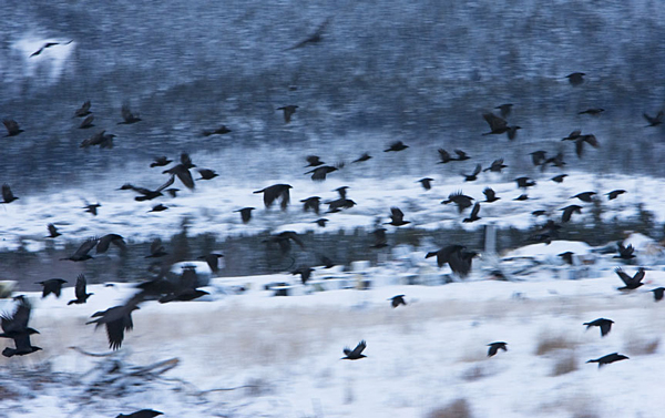 Ravens swarm near a municipal dump. Though the birds are territorial, when a food source is rich enough they will band together to overwhelm the defences of the resident raven. Photo by Chris Colbourne