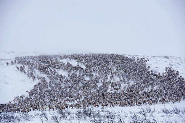 The herd of reindeer as they're driven across the NWT tundra. Photo courtesy of Jason Van Bruggen/NWTT