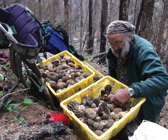 Yukoner Jurg Hofer starts his morel harvesting early to beat the heat. When he's filled a few baskets, around 12 pounds of morels per basket, he brings them to buyers. Photo: Linda Gerrand