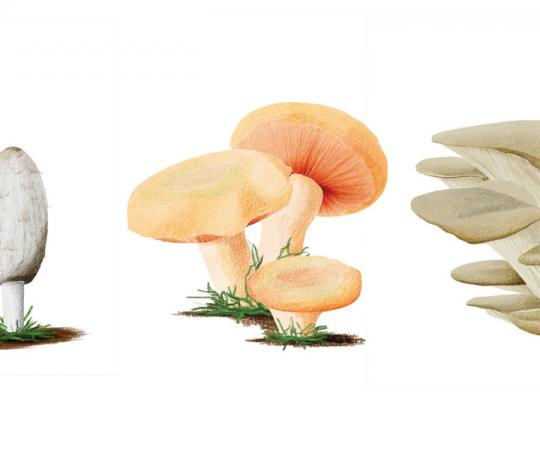 Shaggy mane, orange delicious, oyster mushrooms. Illustrations by Beth Covvey