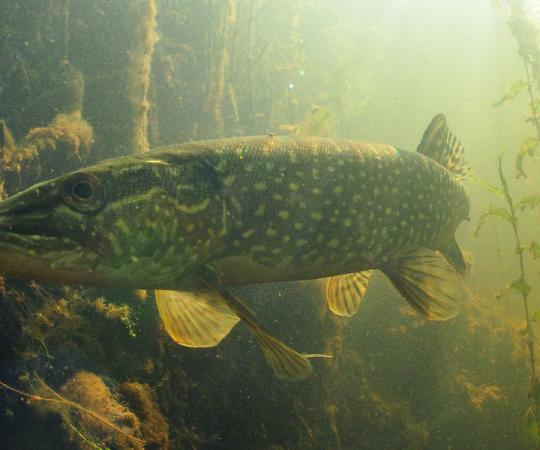 Northern Pike. Photo and illustrations by Paul Vecsei