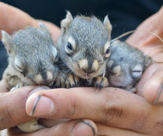 As the number of baby squirrels multiply during mating season, so do the researchers studying them.