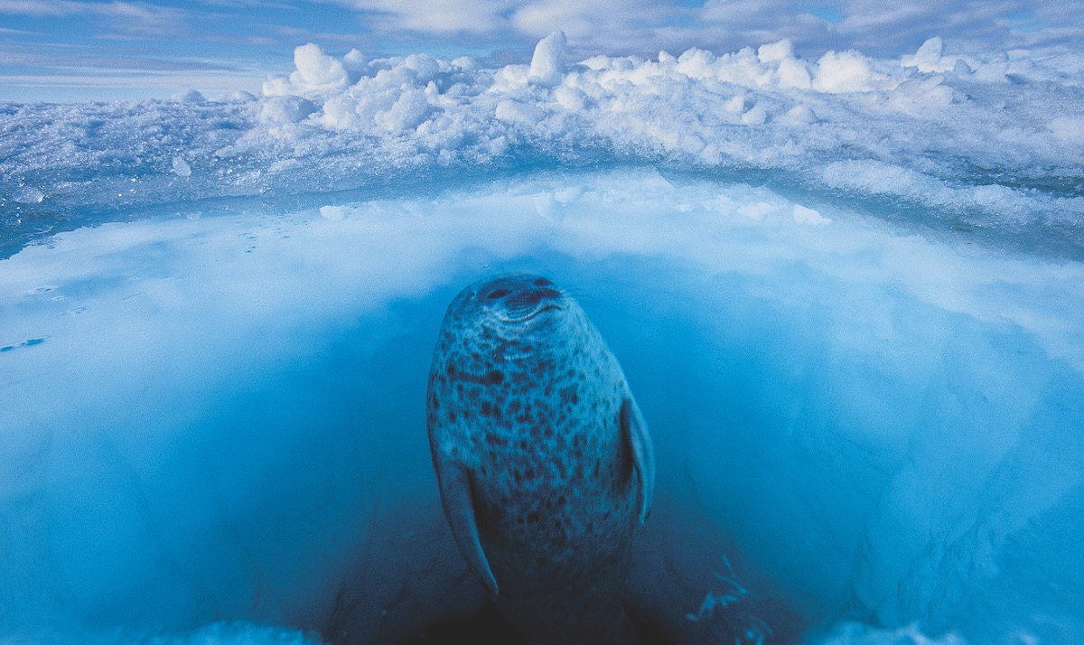 Paul Nicklen took this pic showing the distorted perspective of a seal through the ice.